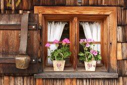 Geranien in Papiertüte auf Fensterbank, an Fensterladen Kuhglocke