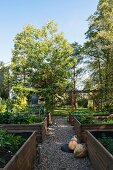 Raised vegetable beds with wooden surrounds in late-summer garden