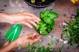 Top view of hands touching basil plant