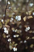 Branches of snowberries