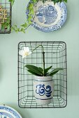 Orchid in painted stoneware pot in wire basket hung on pastel green wall