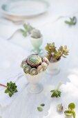 Sempervivum, Crassula und ein kleiner Kaktus als Tischdeko in alten Eierbechern