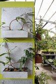 An grünem Paneel aufgehängte Metallbehälter mit Grünpflanzen im Gewächshaus