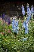 Pale purple delphiniums in summery cottage garden