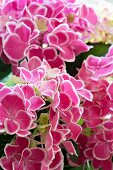 Pink-flowering hydrangea (detail)