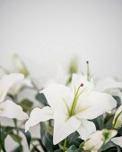 White lilies against blurred background
