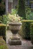 Pflanzgefäß im Garten mit Formschnitt