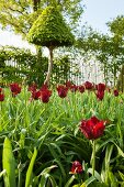 Dark red tulips in front of clipped tree and climber-covered fence