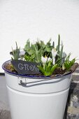 White crocuses and engraved slate sign in white enamel bucket