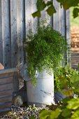 Grünpflanze auf alter Milchkanne vor Holzhausfassade