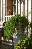 Grünpflanze auf alter Milchkanne vor Holzhaus in der Herbstsonne