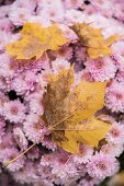 Yellow sycamore leaves on pink chrysanthemums