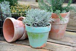 Mediterrane Kräuter (Rosmarin, Lavendel und Zitronenthymian) in alten Tontöpfen, vorne Lavendel in türkisfarbenem Tontopf
