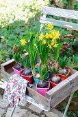 Hyazinthen und Narzissen in bunten Plastiktöpfchen in alter Holzkiste auf Gartenstuhl