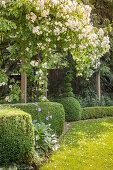 Luxuriantly flowering rose growing over pergola in idyllic garden