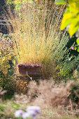 Autumnal yellow grasses in garden