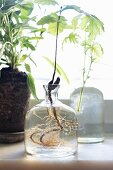 Foliage plant with roots in glass vase in front of window