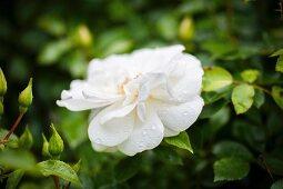 Weiss blühende Rose mit Wassertropfen im Garten