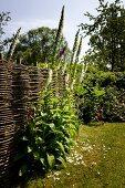 Flowering foxglove against woven wicker fence in idyllic garden