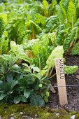 Swiss chard plants with wooden plant label in vegetable patch