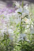 White lilies in summery garden