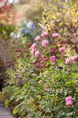 Pink-flowering rose in autumnal garden