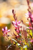 Pink gaura against blurred background