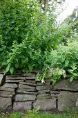 Plants growing over low drystone wall