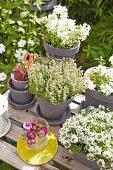 Weiss blühende Blumen und Kräuter in grauen Tontöpfen auf dem Gartentisch