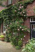 Rankende Rosen und Efeu an Ziegelfassade