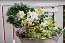 Zinc tub planted with hellebores, succulents and moss