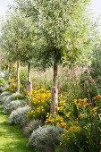 Row of young trees, rudbeckia and lavender in summer garden