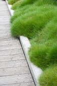Bearskin Fescue lining wooden walkway with edging in garden