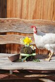 Hen next to Easter arrangement of moss, twigs and narcissu