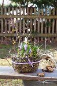 Frühlingsdekoration mit lila Krokussen, Heu und gelben Blütenzweigen in Drahtkorb
