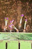 Auf Metallfedern aufgespießte Krokus-Blumenzwiebeln auf grüner Kiste