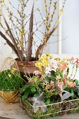 Easter flower arrangement of Siskiyou lewisia (Lewisia cotyledon) and moss in metal baskets