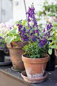 Purple-flowering plant in terracotta pot