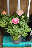 Three potted ranunculus plants on turquoise book