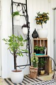 Houseplants arranged on black ladder frame and in wooden crates in conservatory extension with Scandinavian ambiance
