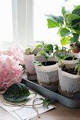 Propagating hydrangeas from cuttings in paper pots
