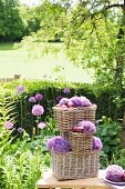 Arrangement of alliums and red onions in stacked wicker baskets in cottage garden
