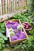 Wooden crate of white and purple allium flowers next to wicker basket of red onions in front of rustic paling fence
