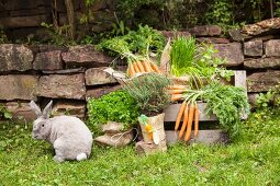 Potted herbs wrapped in hessian and decorated with hand-made felt carrot next to freshly picked carrots on wooden bench in garden