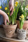 Planting narcissus in pot