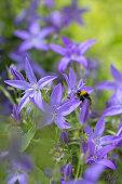 Eine Hummel in blauen Glockenblumen