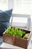 Hyacinths and moss in old wooden crate on bench