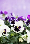 Purple and white violas against lilac background