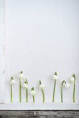 Row of spring snowflake flowers behind white lath