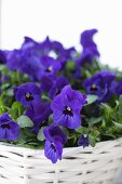Blue violas planted in white basket